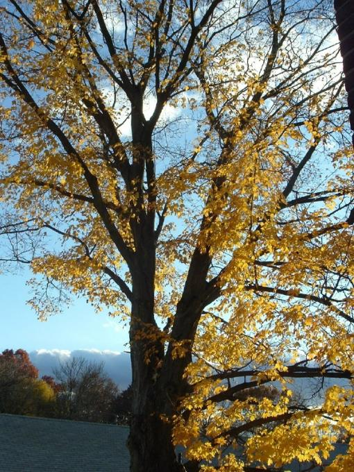 the yellow tree of Connecticut...